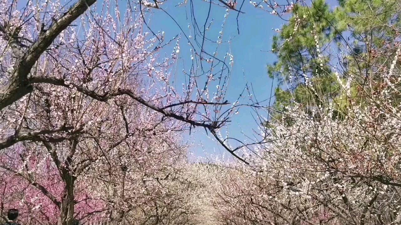 春风里的香雪海#春暖中国 世纪梅园