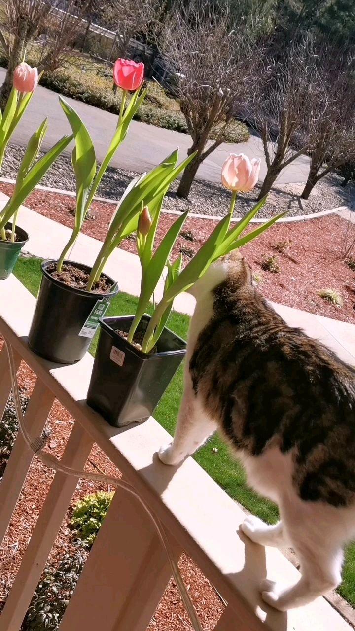 训练花豹可以自由自在花园里散步~