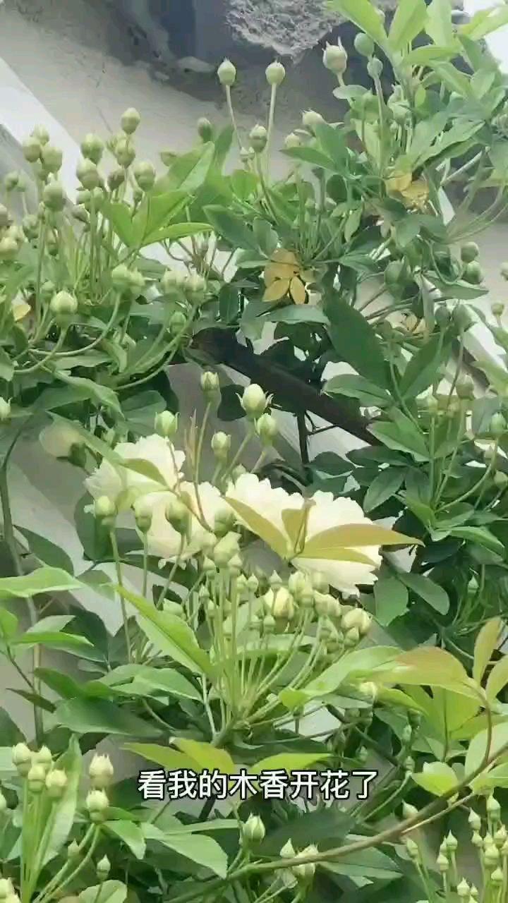 我的白木香开花了 今年很多花苞,期待群开的样子?
