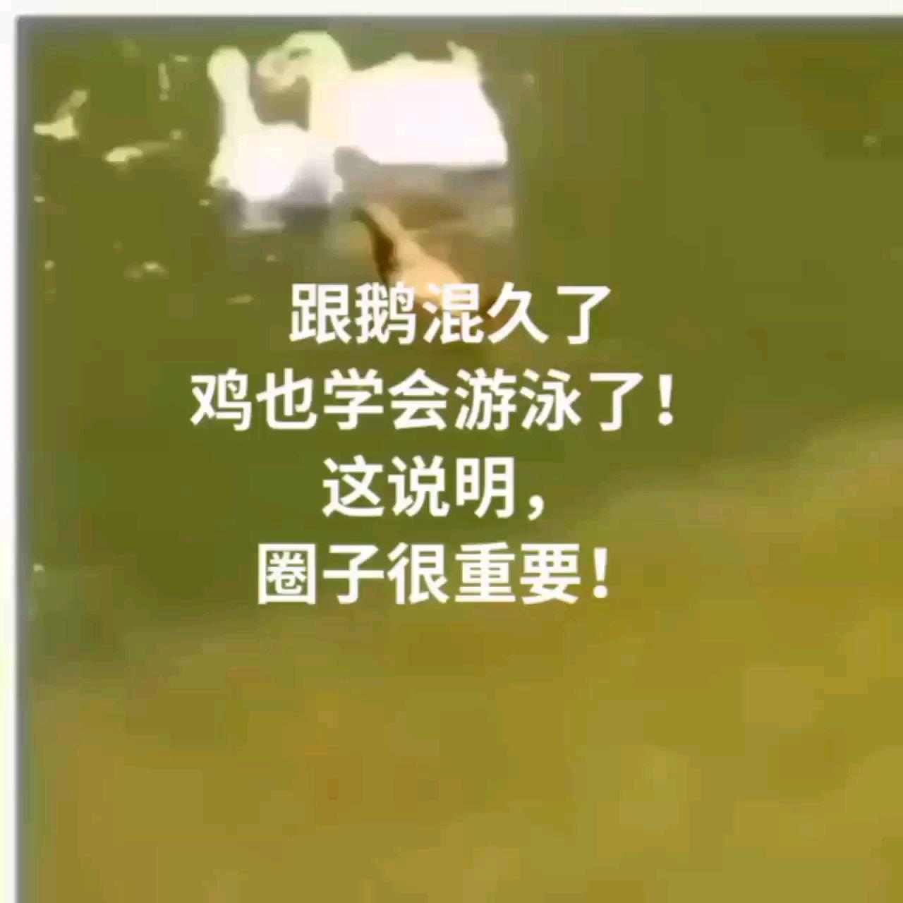 跟鹅混久了 鸡也学会游泳了! 这说明, 圈子很重要!