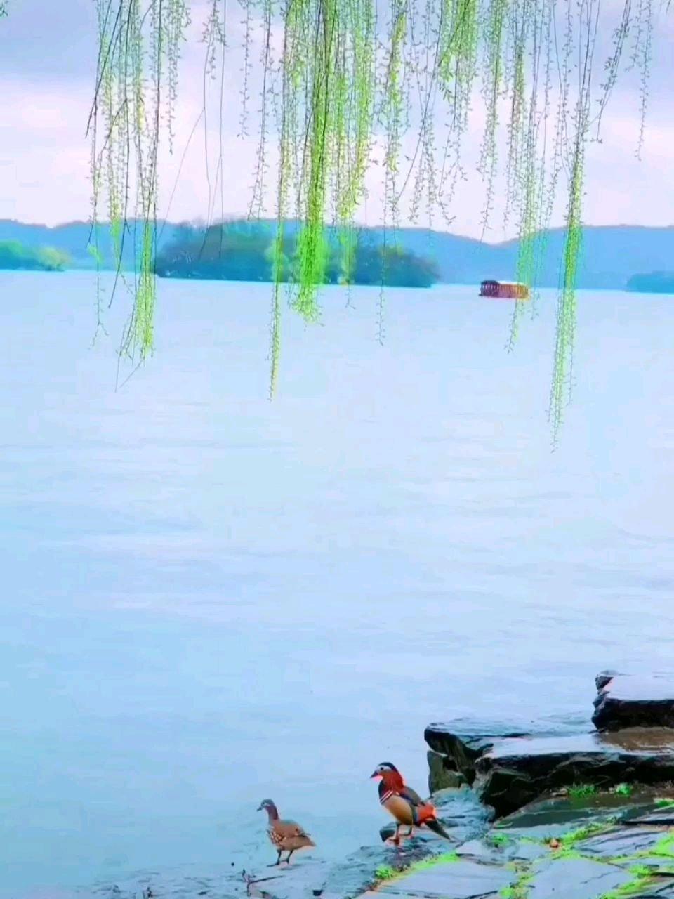 春江霏雨野茫茫,柳岸清风拂韵长。朝夕相依烟水畔,佛仙也要羡鸳鸯。??
