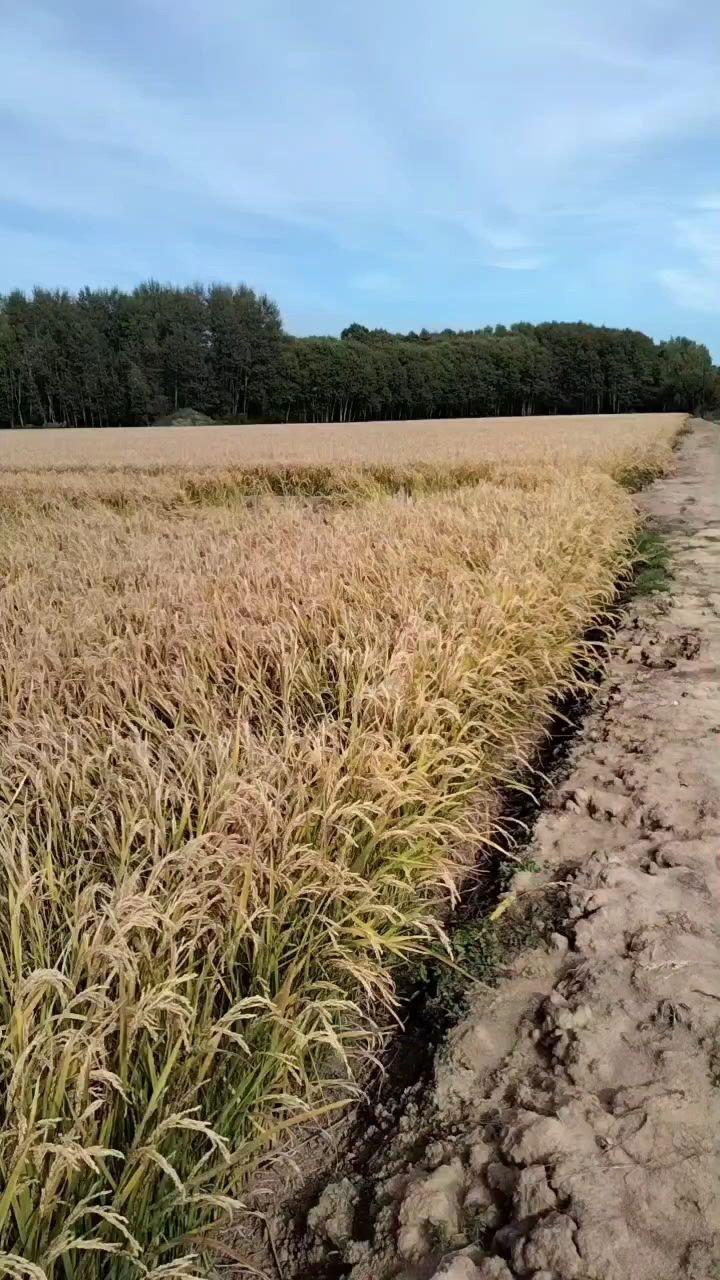 水稻熟了…… 水稻、树、天空,三个层次,三种颜色,好美!带孩子在这玩了将近一个小时,后来漫天遍野的小吆(一种黑色的小虫子,长翅膀,会飞的),只能败兴而归。但是欢乐已经储存,多年后依然记得这欢快,却不会记得有小吆……