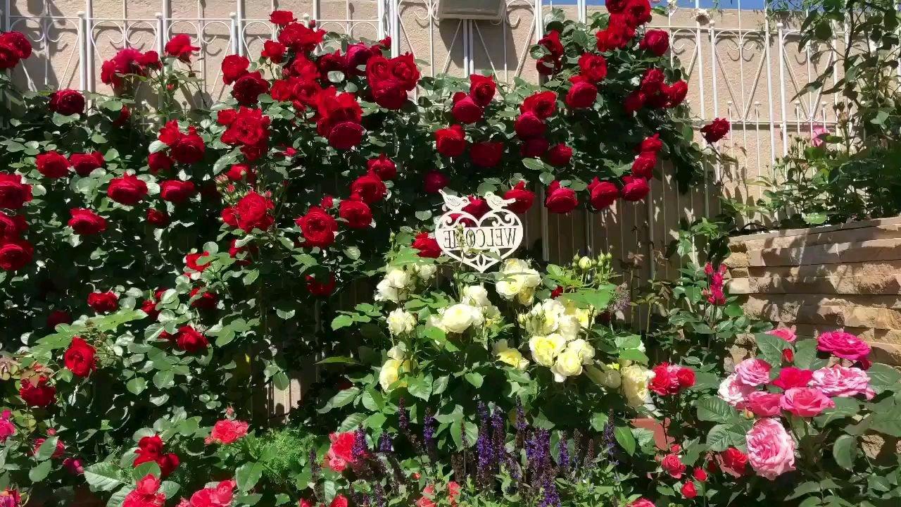最得意的一款正红色月季 佛罗伦蒂娜也叫佛罗伦萨?