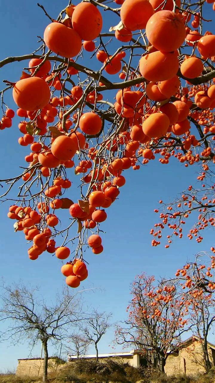 """枝头没有半点绿,满树皆是小灯笼,寓意""""柿柿如意,幸福安康。秋天,柿子熟了#带上花椒去旅行"""