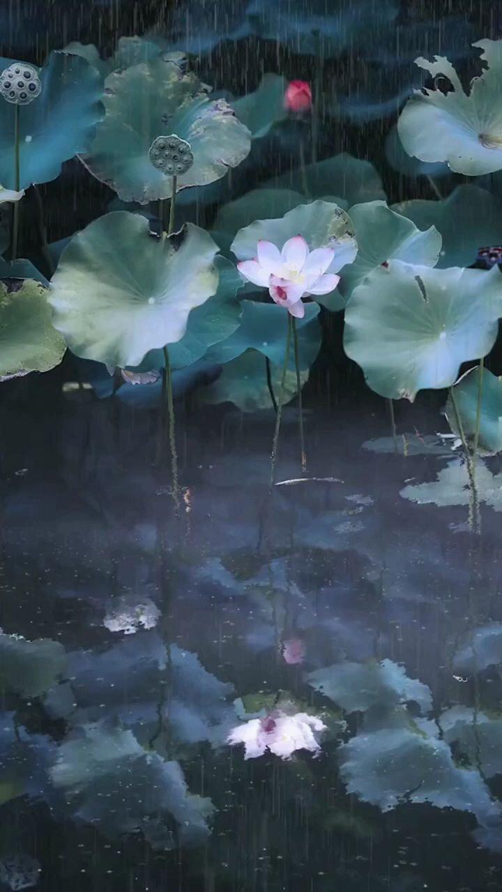 我本无心恋红尘,奈何影子落人间;愿做凡尘一朵莲,出泥不染水中仙。 #带上花椒去旅行