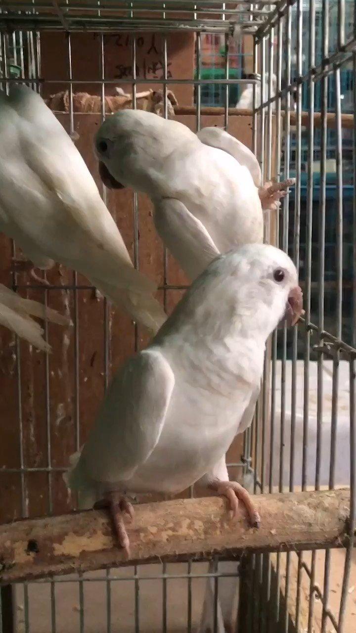 白和尚#和尚鹦鹉 #萌宠 #人工驯养