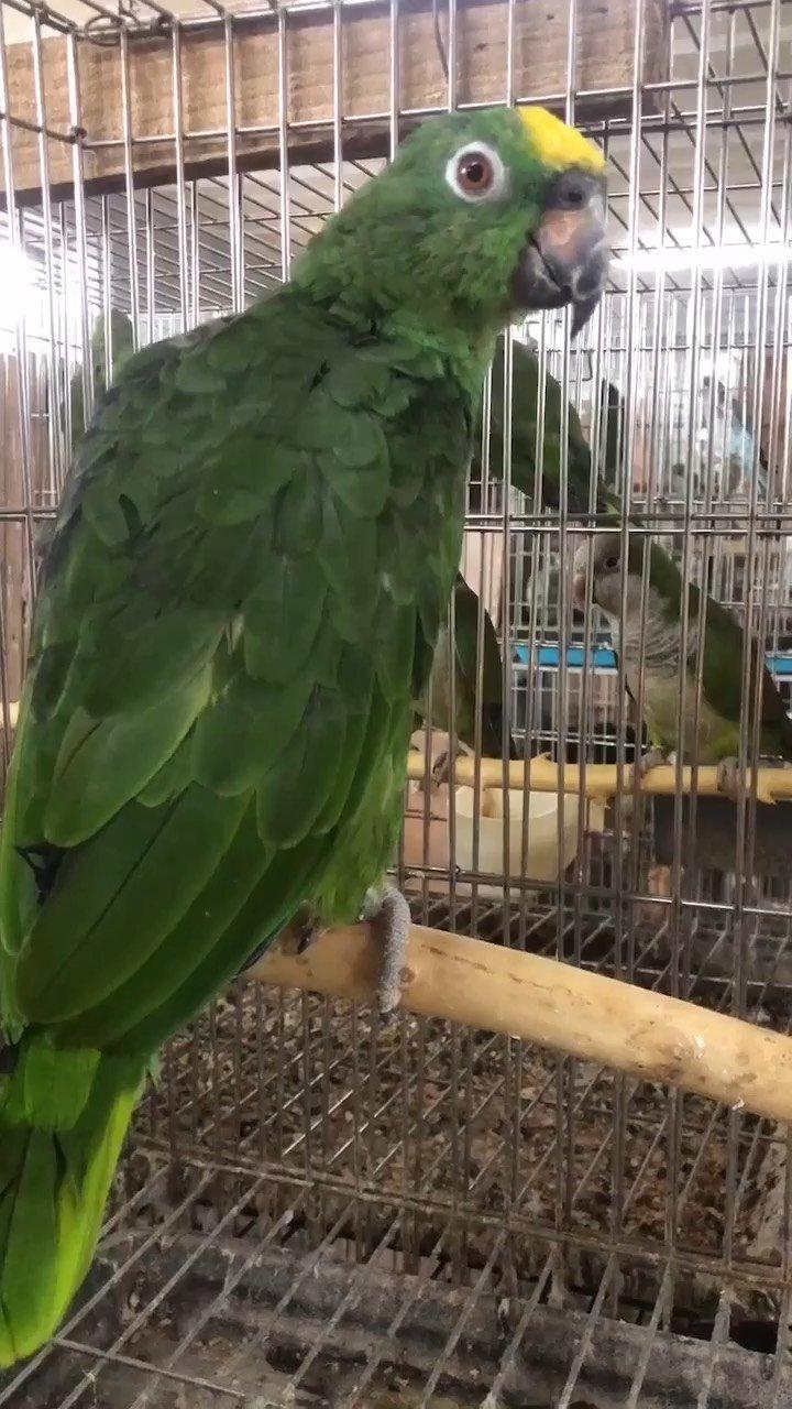 亚马逊黄帽#亚马逊 #手养鹦鹉 #人工驯养
