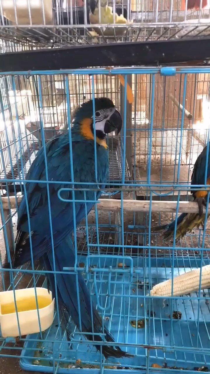 蓝黄金刚#金刚鹦鹉 #老黄金刚