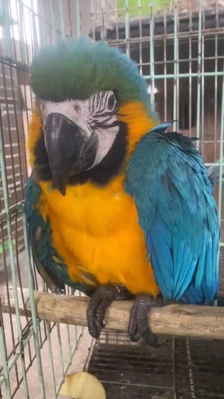 我终有江山万里、就缺一个你、蓝黄金刚#蓝黄金刚 #鹦鹉 #手养鹦鹉