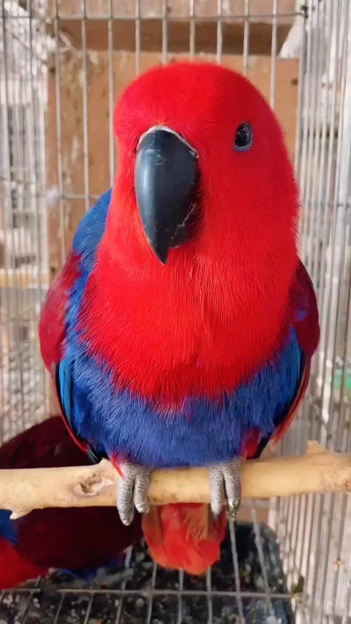 红红哒#折衷鹦鹉 #萌宠 #观赏鸟