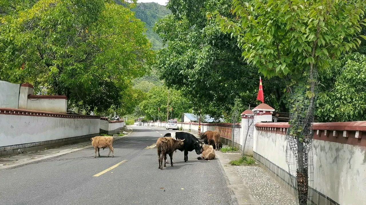 骑行中国 六进西藏之林芝 小啊牛无休呢#百年奋进京彩启航 #带上花椒去旅行 #又嗨又野在玩乐